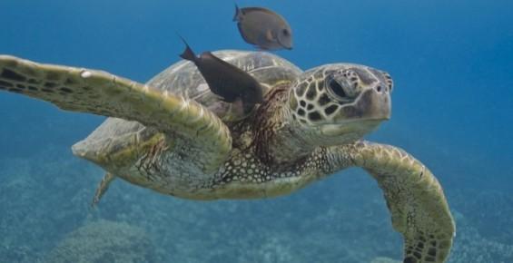 Ohana Hawaii Tour / 夏威夷自由行私人導遊 - Dolphin Excursions 與海豚共泳