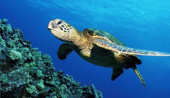 戀夏旅遊, 夏威夷自由行私人導遊 - Kaneohe Sandbar 海龜